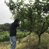嵊州村民7年前转行回家开辟荒山 欲打造四季果园带动村民致富