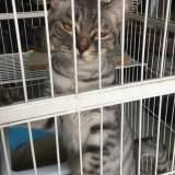 8个月大英短母猫