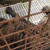 可怜!嵊州农户家一只藏獒活活被热死…